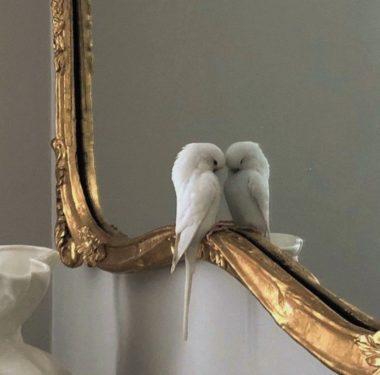Piriquita branca